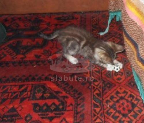eu sunt o pisicuta birmaneza si ma cheama BELLA...