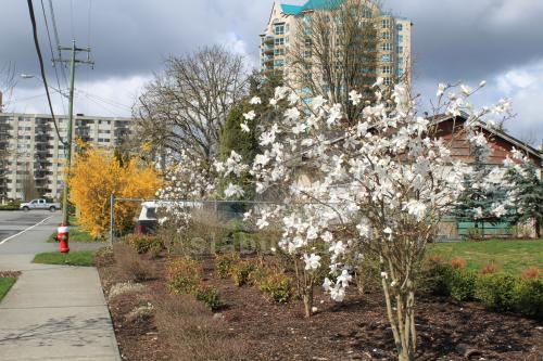 au inflorit magnolii in fatza blocului